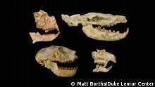 Fossils of the key groups used to unveil the Eocene-Oligocene extinction in Africa with primates on the left, the carnivorous hyaenodont, upper right, rodent, lower right. These fossils are from the Fayum Depression in Egypt and are stored at the Duke Lemur Center's Division of Fossil Primates.