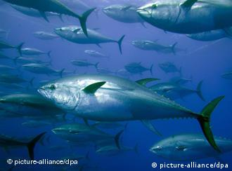 Bluefin tuna swimming in the sea