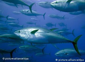 Bluefin tuna swimming in the sea