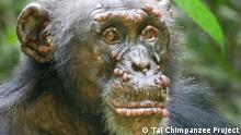 Elfenbeinküste Lepra bei Schimpansen