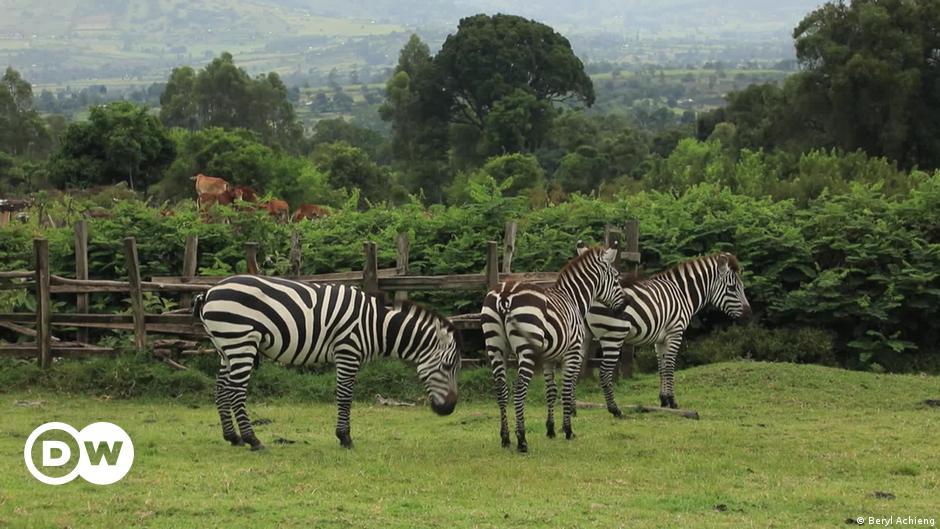 Retired teacher decides to domesticate zebras in Kenya