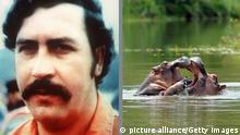Nilpferde auf der Range Hacienda Napoles wurden von Pablo Escobar sterilisiert
