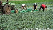 epa02779437 Seasonal workers harvest turnip cabbage at a farm in Nuremburg, Germany, 14 May 2011. German Agriculture Minister Ilse Aigner and Bavarian Environment Minister Markus Soeder have visited different vegetable farmers in the region, following the recent Escherichia coli, EHEC epidemic. Cucumbers, tomatoes and lettuce have given an official all-clear by German authorities, who said the evidence was strong that sprouts grown from beans or peas have caused the E coli outbreak that has killed 30 people. EPA/DAVID EBENER