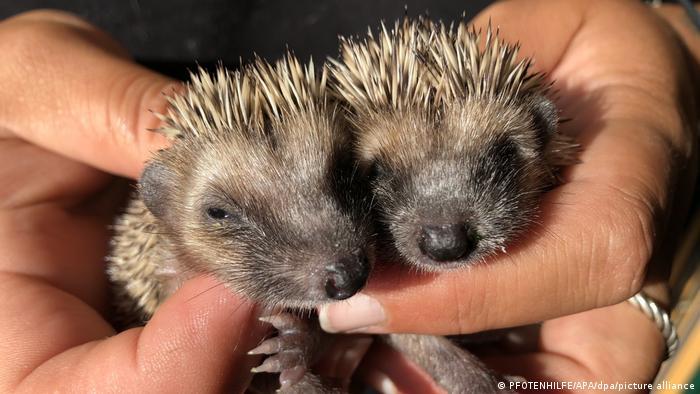 Ova dva mala ježa pronađeni su bez mame i tate. Srećom, sada su u prihvatilištu Fotenhilfe u austrijskom Lohenu. Trenutno je tamo više od 30 ovakvih siročića.