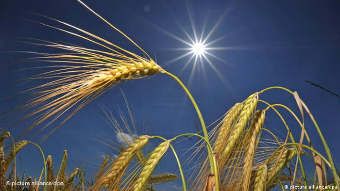Колосья пшеницы в лучах солнца