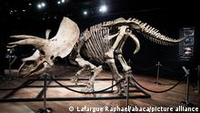 A triceratops skeleton known as 'Big John'