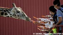 Visitors are seen giving carrots to a giraffe at their enclosure at the Xenpal Zoo in Garcia, on the outskirts of Monterrey, Mexico October 21, 2021. REUTERS/Daniel Becerril TPX IMAGES OF THE DAY