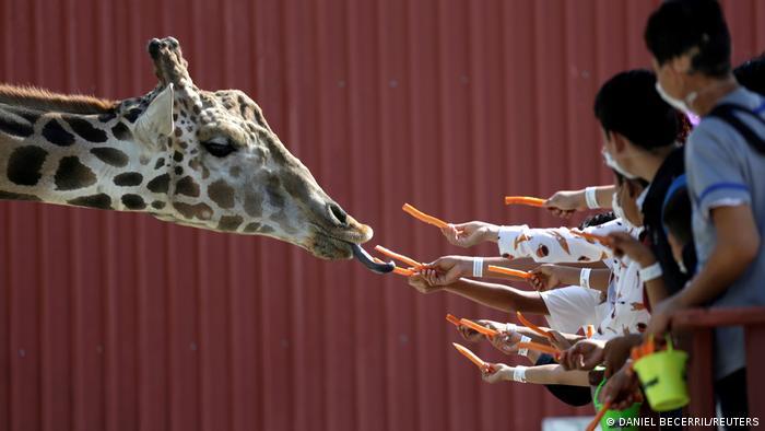 Za žirafe u zoološkom vrtu u Montereju u Meksiku dve stvari su važne: da imaju dovoljno dugačak vrat i dovoljno dugačak jezik. Tako se stiže do šargarepe.