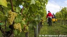Arbeiter ernten Trauben, die auf der Waitrose Farm auf dem Leckford Estate in Hampshire angebaut werden. Die Trauben werden zwei Tage lang von Hand gepflückt und innerhalb von 24 Stunden auf dem Weingut Ridgeview Wine Estate gekeltert, um schließlich zur Waitrose Leckford Estate Brut zu werden. +++ dpa-Bildfunk +++