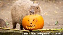 Un carpincho inspecciona una calabaza rellena de alimentos en el zoo de Hannover.