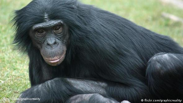 Bonobo (Foto: flickr/graficreality)