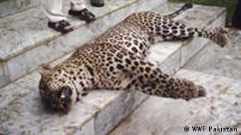 The body of a leopard, killed by local hunters in the Ayubia forest reserve in Pakistan.