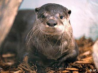 A rare sight in Germany - the Eurasian otter