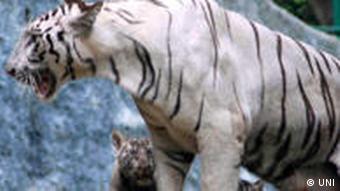 Indien Tigerdame Anu