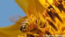 Iran Fokus Beschreibung: Flower, Iran, Bee; Copyright: Shahram Zaferanlu