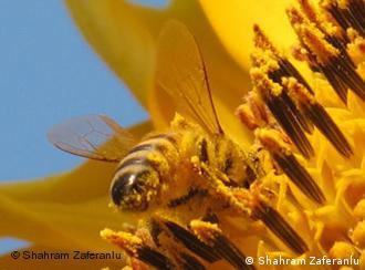 Biene (Foto: Shahram Zaferanlu)