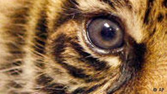 A baby tiger at Frankfurt zoo