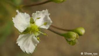 Herzlöffel (Caldesia parnassifolia) (Foto: show.ryu)