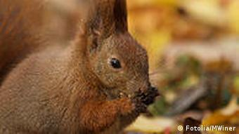 A red squirrel with a nut