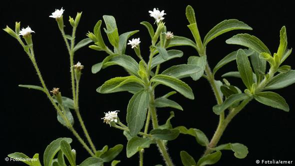 Stevia rebaudiana Süßkraut FLASH-Galerie