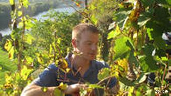 Michael Bluemling harvesting Riesling on the Moselle