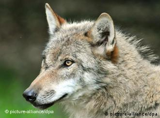 Волки - под угрозой вымирания
