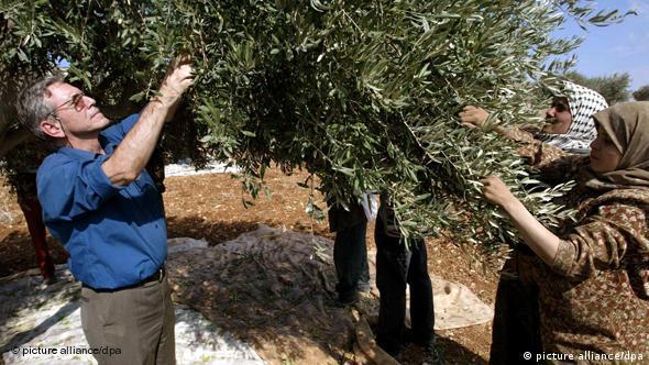 Oz harvesting olives in the West Bank
