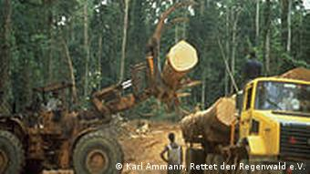 A wood felling operation with trucks in a forest in DRC