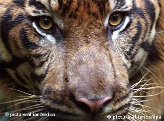 According to the WWF, as few as 3200 tigers are left in the world today