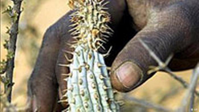 Hoodia Kaktus Plantage in Witdraai, Südafrika