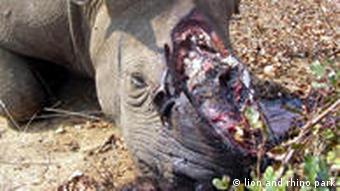 A dead rhinoceros with a removed horn in South Africa