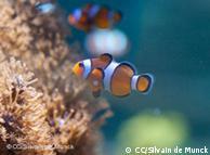 """También el pez payaso """"Nemo"""" sufre las consecuencias del cambio climático."""