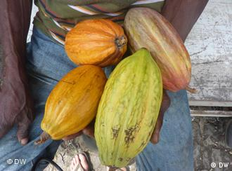 Different types of cocoa fruit