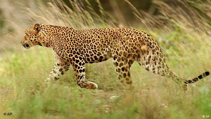 Flash-Galerie bedrohte Tierarten Tiger Sri Lanka Leopard