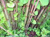 Fallopia Japônica foi levada como planta ornamental para a Alemanha há 200 anos