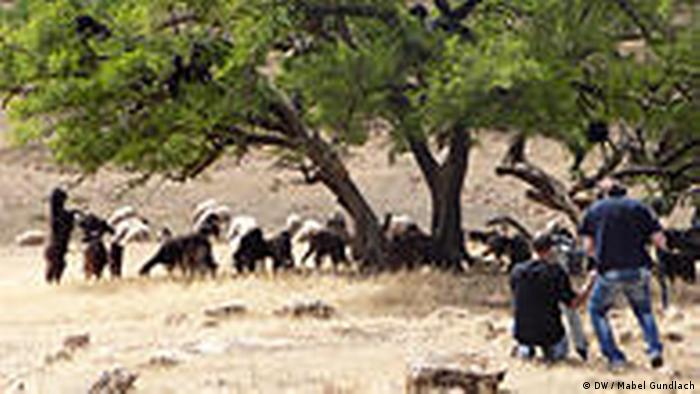 شجرة أركان النادرة موجودة فقط في المغرب حيث تشكل مصدر عيش للكثير من العائلات هناك.