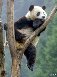 A giant panda on a tree in Sichuan, China