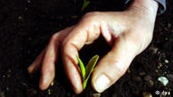 A hand plucking a genetically modified maize plant on a test field in Munich (Photo: Frank Leonhardt/ dpa)