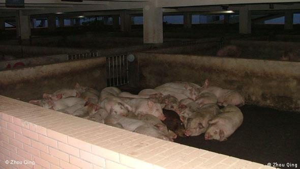 Pigs lie on the ground inside an abattoir