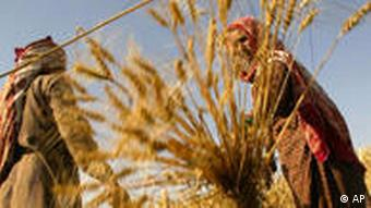 A woman piles up wheat after harvesting at a farm in village Majra Khurd of Haryana state in India.