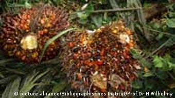 Palm oil fruit (Photo: Prof. Dr. H. Wilhelmy)