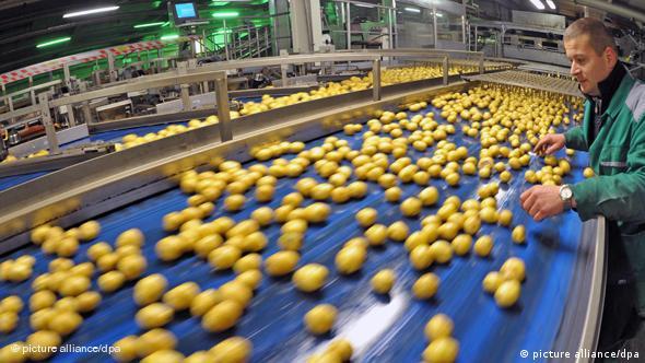 Selekcija krumpira poslije žetve - mali i nepravilni plodovi idu na otpad