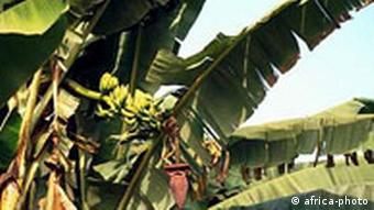 Bananenpflanze in Nigeria