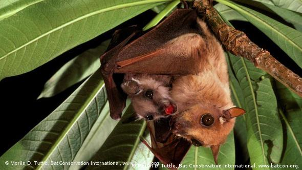 A small brown bat with big eyes holding an even smaller one in a tree