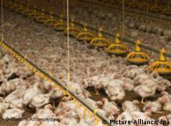 Τα περισσότερα κοτόπουλα στην ΕΕ ζουν υπό άθλιες συνθήκες