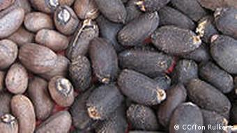 Jatropha nuts