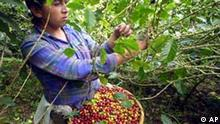 A woman picks coffee beans in la Hacienda San Luis in the department of Matagalpa, located 135 kilometers north of Managua, Nicaragua Wednesday Sept. 18, 2002. Coffee prices have plummeted, despite the growing popularity of mochas and lattes among the well-to-do in the world's prosperous cities, and coffee farmers are increasingly going hungry. Their plants die on steep mountainsides. A report released Wednesday by the international relief agency Oxfam said coffee prices are at their lowest level in real terms in 100 years. A glut of low-quality beans has left 25 million coffee farmers in crisis. Families are going hungry. Banks in coffee regions have collapsed. (AP Photos/Mario Lopez)