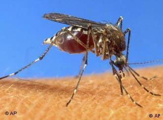 Москит - переносчик малярии
