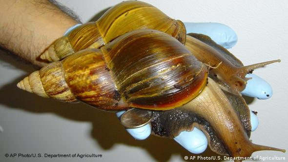 Afrikanische Riesenschnecke (Foto: AP Photo/U.S. Department of Agriculture, Bobbi Zimmerman)
