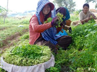 Srey Kuot grows cilantro, spinach and cabbage just outside of Phnom Penh